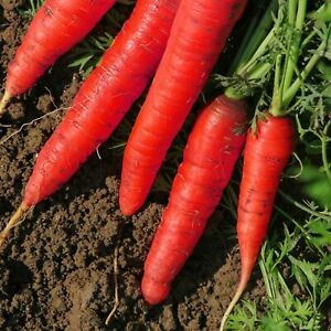 Atomic-Red-Carrot-Seeds-Lycopene-NON-GMO-Variety-Sizes-FREE-SHIPPING