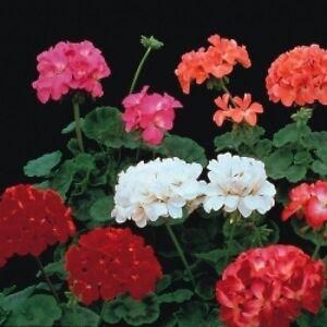 FLOWER-GERANIUM-F2-COLORAMA-25-FINEST-SEEDS