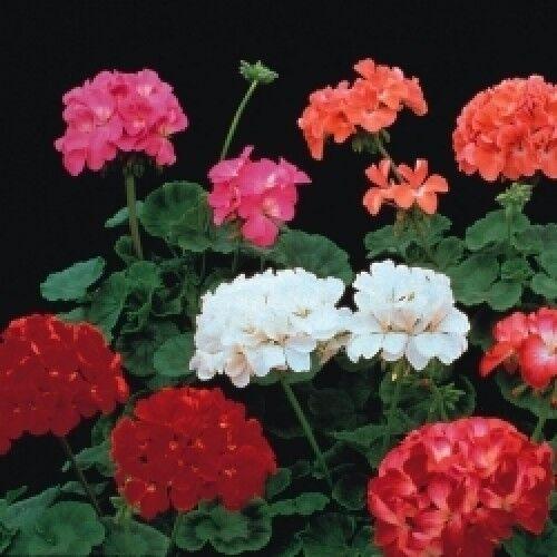 FLOWER GERANIUM F2 COLORAMA 25 FINEST SEEDS