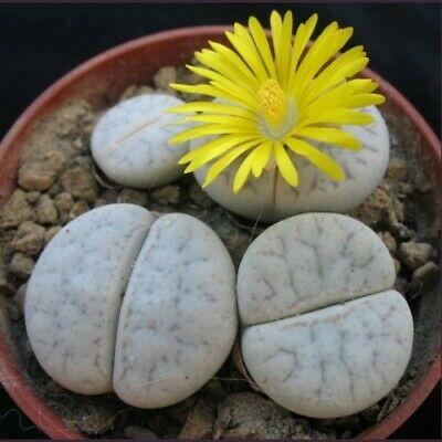Living Stone Seed Arid Living Popular House Plant Delightful Lithops olivacea