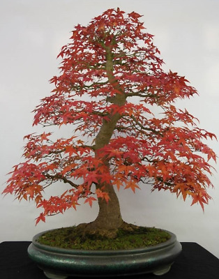 20 Japanese Red Maple Bonsai Tree Seeds Home Garden Maple Tree Uk Stock Ebay
