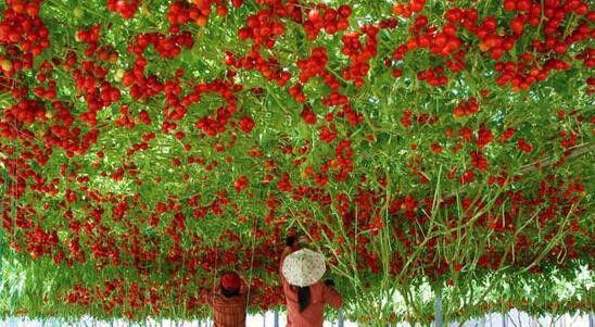 TOMATO 'Giant Tree' BULK 30+ seeds *RARE* Italian unusual HEIRLOOM NON GMO