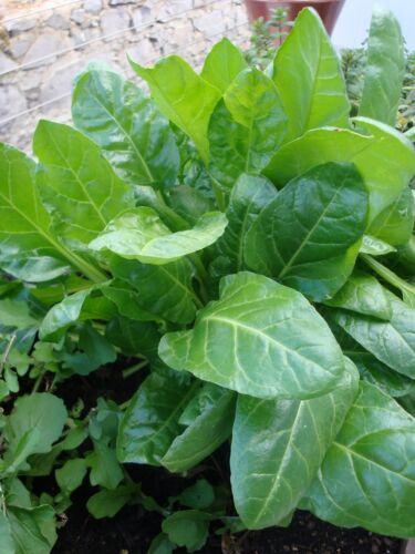 Légume épinards perpétuel 14 g ~ 700 graines