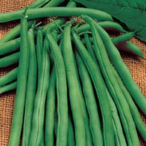 Stringless Green Bean Seeds - Bush Blue Lake 274 Snap Bean