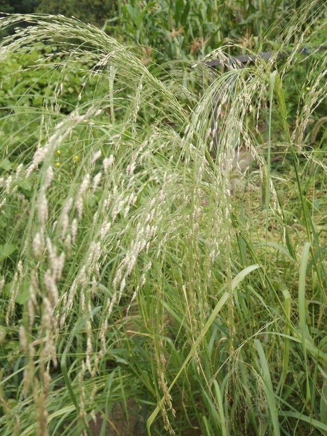Teff - Dwarf Millet - 50+ seeds - Heirloom - The smallest cereal!