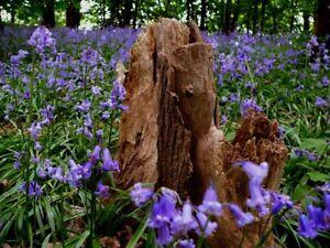 Native Bluebells seeds Fairy Garden Fairy Flower Seeds x100 UK Wild Flower