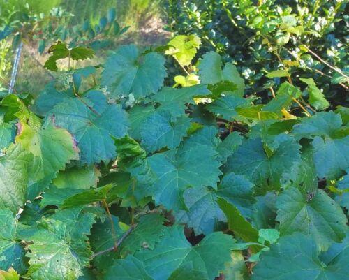 """6/"""" ~ 12/"""" Tall Vitis rotundifolia 1 Live Purple Muscadine Grape Vine Plant"""