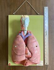Vintage Somso Anatomical Respiratory System West Germany Mcm Medical Sculpture