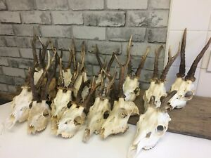 Roe-Deer-Antlers-on-Skull-NATURAL-HOME-WALL-DECOR-Taxidermy