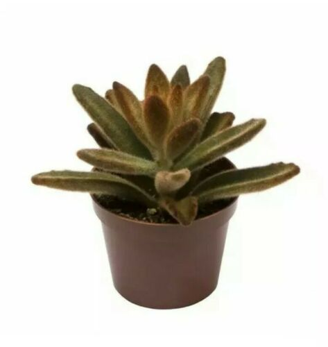 Kalanchoe tomentosa /'Rubra/' House Plant Leaf Cutting