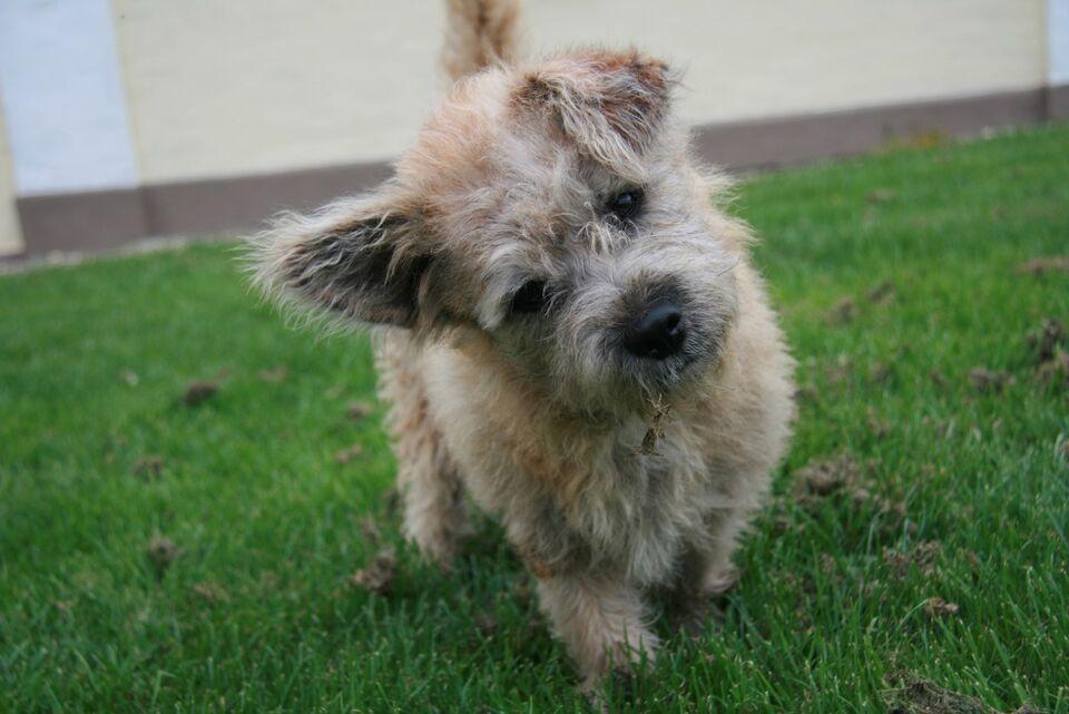 cairn terrier hvalpe til salg