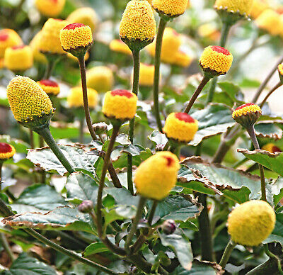 100x TOOTHACHE EYEBALL PLANT SEEDS Buzz Buttons Spilanthes oleracea Flower seeds