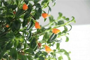 Goldfish-Flowers-Live-Plant-4-034-Pot-Blooms-Frequently-Indoor-Outdoor-Garden
