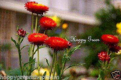 Helichrysum Bracteatum 50 Scarlet Red Strawflower Seeds