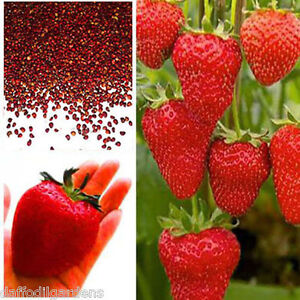 Giant-Red-Strawberry-Seeds-Garden-Fruit-Plant-Rare-And-Delicious-30-Seeds-Pkt