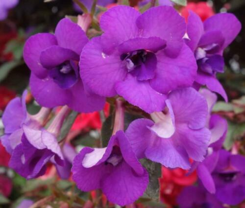 Achimenes /'Violacea semiplena/' one tuber rhizomatous perennial houseplant #18