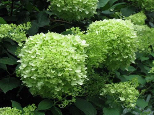 Rispenhortensie Hydrangea paniculata Limelight 40-60cm Sommer und Herbstblüher
