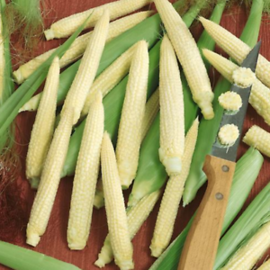 Corn Seeds 25 Japanese Hulless White Popcorn Vegetable NON-GMO FREE SHIPPING