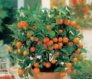 10 Edible Fruit Mandarin Bonsai Tree Seeds Citrus Bonsai Mandarin Orange Seeds Ebay
