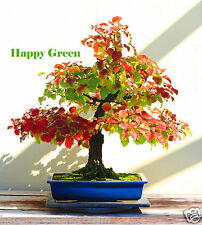 CALLERY PEAR - 40 Bonsai seeds - Pyrus calleryana - Bradford Pear garden Tree