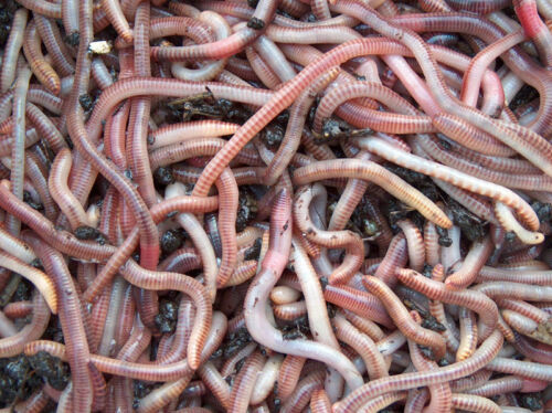 GROSS 2 kg Regenwürmer Dendrobena Worms Large Big