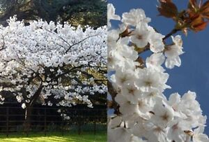 Prunus autumnalis white flowering cherry tree 5 6ft supplied in a image is loading prunus autumnalis white flowering cherry tree 5 6ft mightylinksfo