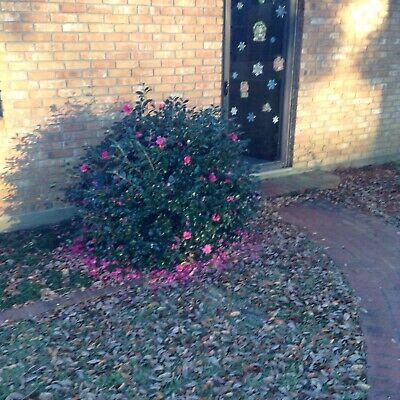 Camellia Hiemalis Shi Gashira
