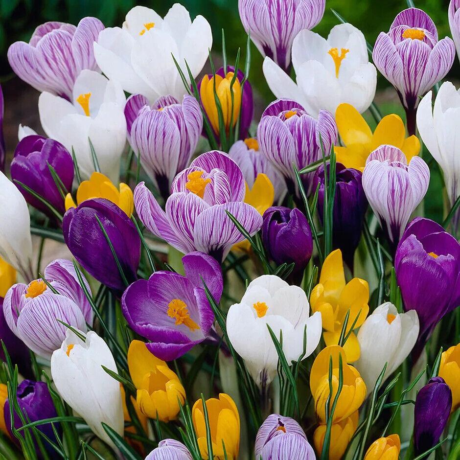 Large Flowering Crocus Bulbs Five Varieties Blue,Yellow, White,Purple, Striped