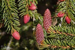 seeds chrismas tree NORWAY SPRUCE Picea abies 10