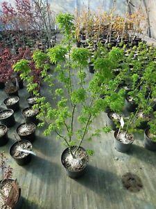 Acer-palmatum-Shishigashira-Loewenkopfahorn-100-120cm-Bonsaiahorn