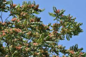 Goetterbaum-wird-in-Indien-als-heiliger-Baum-verehrt-exotische-Samen-Saatgut