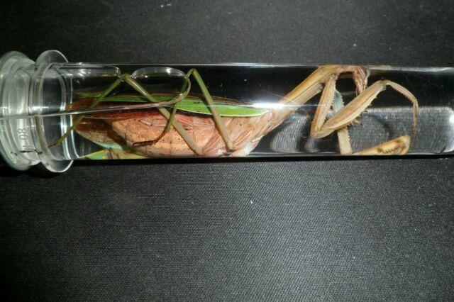 1 Large Praying Mantis Wet Specimen Female Educational