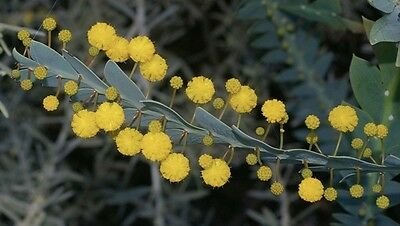 CLAY WATTLE (Acacia glaucoptera) 30 seeds
