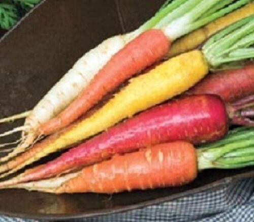 1,000 Carrots Seeds Rainbow Blend Garden Seeds Rainbow Carrots