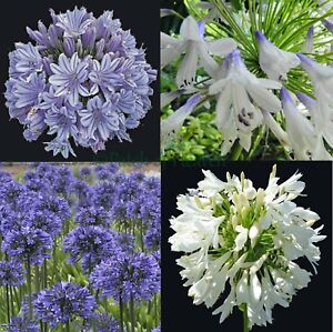 Agapanthus-praecox-Blue-White-Blue-amp-White-Agapant-African-Lily-of-the-Nile-Seeds