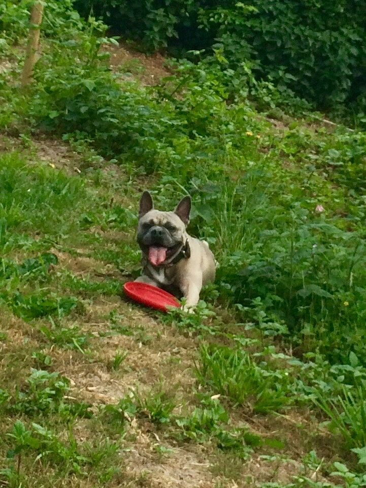 Fransk Bulldog Parring, hund, 5 år