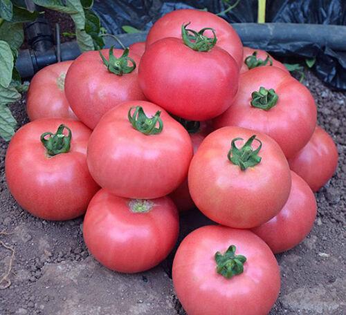 Tomates Sauvage Rose 10 graines