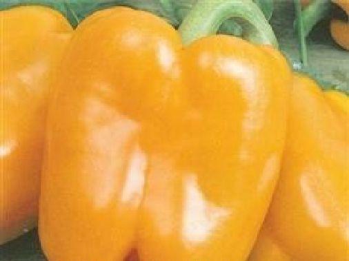 Vegetable - Pepper (Sweet) - Golden Californian Wonder - 140 Seeds