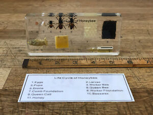 Life-Cycle-of-a-Honey-Bee-Biological-Development-Specimen-Display