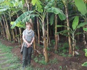 winterharte Musa Basjo Bananenpflanze<wbr/>nsorten Bananenpflanze<wbr/>narten für den Garten
