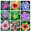 100-pcs-Hibiscus-Flower-Seeds-Mix-Color-Exotic-Plant-Gardening-Hibiscus-Flowers thumbnail 2