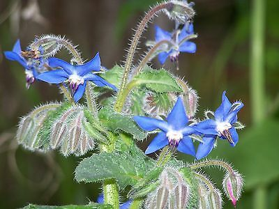 Borage Seeds- Heirloom Herb Variety-  200+ 2015 Seeds   $1.69 Max Shipping/Order