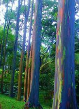 RAINBOW EUCALYPTUS - Mindanao Gum - fresh seeds! Houseplant or patio plant! Rare