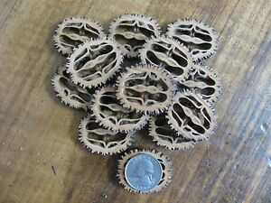 Fifty Quality Medium Black Walnut Slices For Your Craft Projects