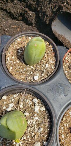 penis cactus forma monstrose Cactus
