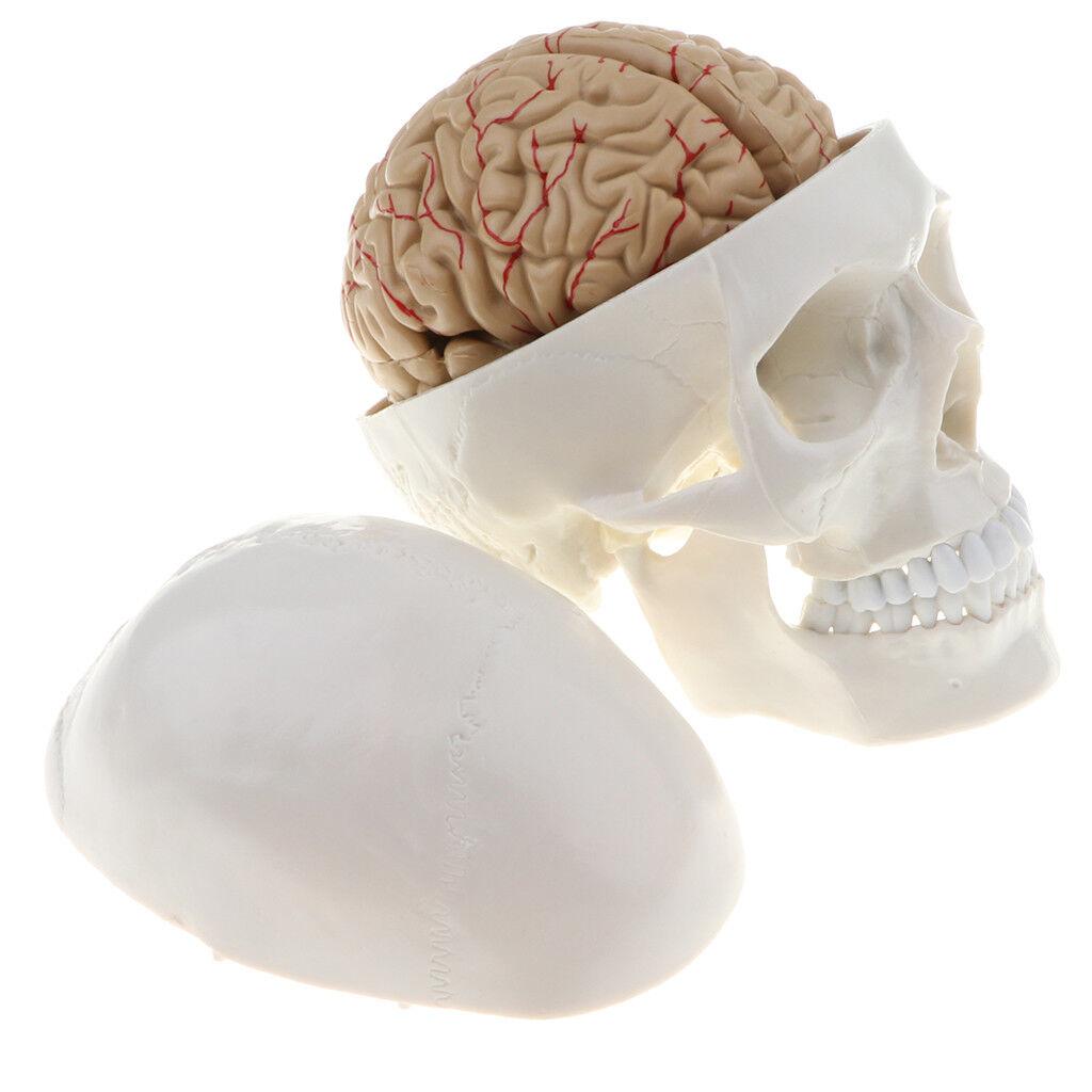 1:1  Herrenchliches Kopf Schädel Skelett Modell mit abnehmbarem 8-teiligem