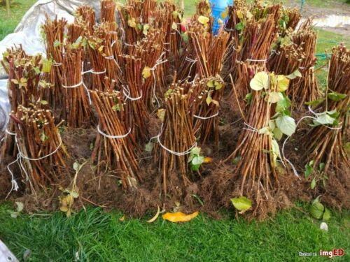 10 x Raspberry Canes with bare roots Rasberry Glen Ample Garden Fruit Plant