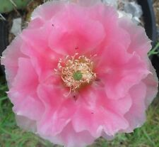 Winter Hardy Prickly Pear Cactus LARGE RUFFLED SHOWY PINK BLOSSOMS!!!