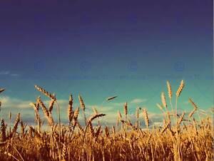 PHOTOGRAPHY-LANDSCAPE-WHEAT-FIELD-BLUE-SKY-CROP-HARVEST-ART-PRINT-POSTER-MP3517B
