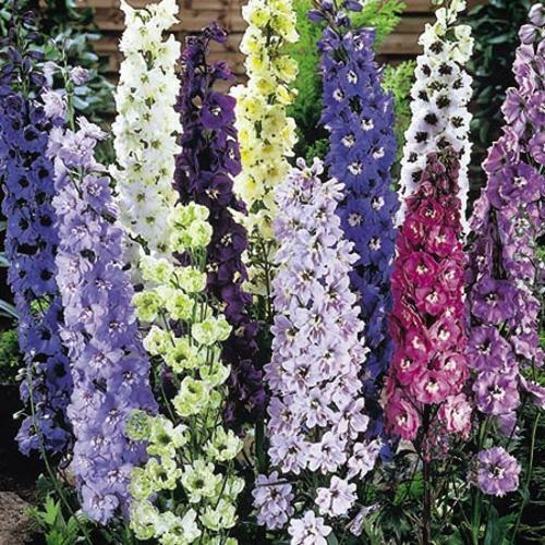 10 DELPHINIUM DELIGHT MIX SEEDS Flower Patch UK Fast Depatch COTTAGE GARDEN